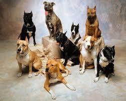 hd wallpapers pitbull puppy wallpaper amstaff staffie