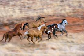 paint horses running in a field. Unique Paint HOR 01 KH0043  Kimball Stock Herd Of Horses Galloping In Dry Field Inside Paint Running A O