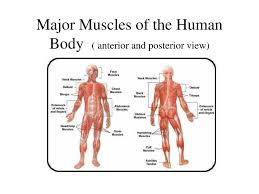 May 05, 2021 · muscles are the only tissue in the body that has the ability to contract and therefore move the other parts of the body. Ppt Major Muscles Of The Human Body Anterior And Posterior View Powerpoint Presentation Id 1194566