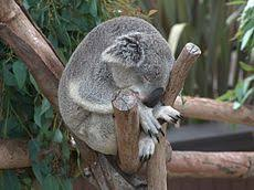 koala simple english the encyclopedia a sleeping koala in a zoo
