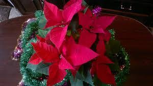 Blumen Weihnachtsstern Warum Die Blätter Nicht Erröten