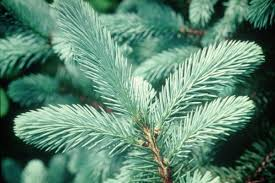 Where To Buy Real Christmas Trees In And Around Edinburgh  The ListTypes Of Fir Christmas Trees