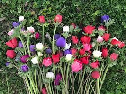 how to grow anemone flowers a quick