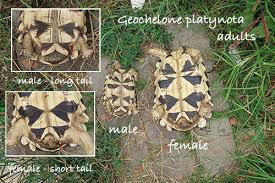 Leopard Tortoise Size Chart Sexing Star Tortoises Male Or Female