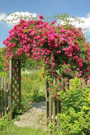 flourishing garden. Download Red Rambler Rose On An Arched Garden Entrance Stock Photo - Image Of Country, Flourishing W