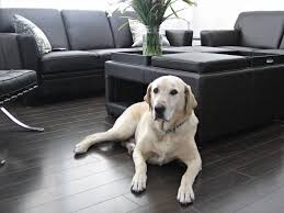 pet friendly hardwood floors lab