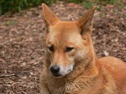 dingo Wikimedia - Commons jpg File Face444