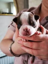Beautiful KC Boston Terrier puppies ...