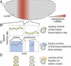 Multimodal transcriptional control of pattern formation in embryonic  development
