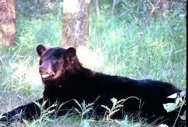 black bear rug for craigslist seemly black bear rugs black bear skin rug for black bear rug