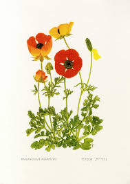 Ranunculus asiaticus L. | Flora of Israel Online