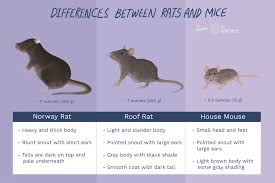 Rodents Lower Classifications The Difference Between Rats And Mice And Why It Matters