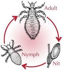 How Long Can Head Lice Live In Carpets Carpet Vidalondon