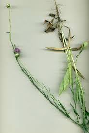 Mantisalca duriaei (Spach) Briq. et Cavill.