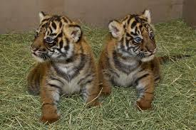 Image result for tiger cubs