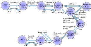 10 Steps Of Glycolysis Shandiradial