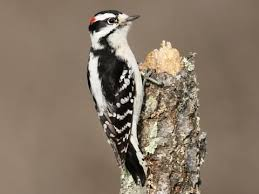 Downy Woodpecker Identification All About Birds Cornell