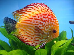 Image result for golden fish
