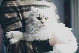 cute fluffy cats tumblr. Fine Tumblr Cat White And Animal Image For Cute Fluffy Cats Tumblr