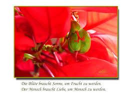 Weihnachtsstern Mit Samenkapsel Foto Bild Blüten Und