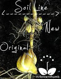 Transplant asian lily bulbs