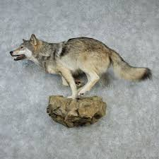 grey wolf size gray wolf taxidermy mount 12866 the taxidermy store