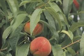 Seckel Pear  Pear Trees  Stark Brou0027sDo All Pear Trees Bear Fruit