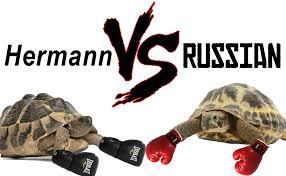 Hermann Vs Russian Tortoise 2019 Ultimate Comparison Table