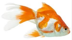 goldfish wallpaper desktop. Exellent Goldfish Goldfish Wallpapers Backgrounds Images 1920x1080u2014 Best Goldfish Desktop  Wallpaper Sort Wallpapers By Ratings Intended Wallpaper Desktop 1