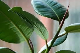 india rubber house plant ficus elastica 2006