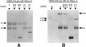 Identification Template Identification Of The Mrnas Transcribed By Template P8 Np