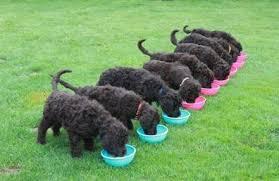 Poodle Feeding Chart Feeding Your Puppy