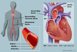 Time has brought your heart to me. The Aorta Human Anatomy Picture Function Location And Conditions