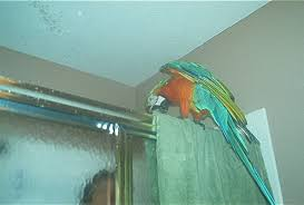 harlequin macaw stands on top of the shower door begging for a shower with his owner