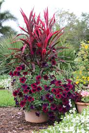 Small Picture Container planting Cordyline Ti plant burgundy petunias