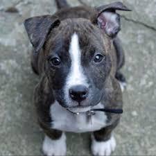 terrier pitbull mix puppies. Plain Terrier Pitbull Boston Terrier Mix In Terrier Mix Puppies