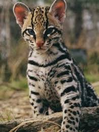 cute amazon rainforest animals. Amazon Rainforest Animals The Ocelot Big Cats Cute For Pinterest