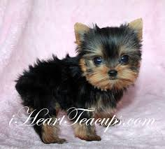 baby yorkshire terrier. Beautiful Baby Tiny Teacup Yorkshire Terrier Yorkie U201cDIORu201d Baby Doll Face For D