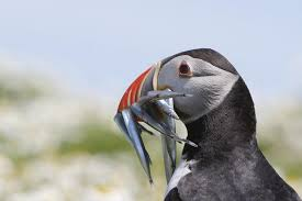 puffins in iceland where to see puffins in europe iceland and tips on how