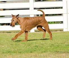 Irish Terrier Weight Chart Irish Terrier Dog Breed Information Pictures