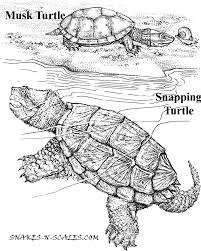 Small Picture Musk Turtle Snapping Turtle Coloring Page Snakes N Scales