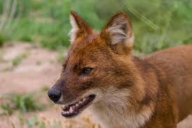 Small Picture Dhole Wild dogs Red dog and German shepherds