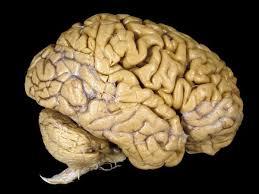Image result for hình ảnh bộ não con người