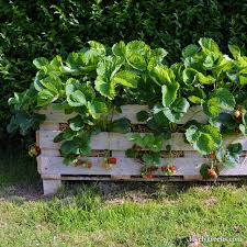 how to build a better strawberry pallet planter grow strawberries on your deck or small
