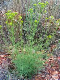 Ruta montana - Wikispecies