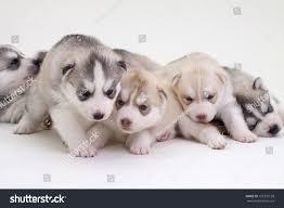 siberian husky newborn puppies. Perfect Puppies Newborn Siberian Husky Puppies Inside Siberian Husky Newborn Puppies U