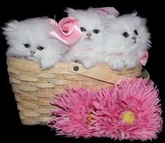 cute white fluffy kittens for sale. Fine White Persian Teacup Kitten For Sale For Cute White Fluffy Kittens T
