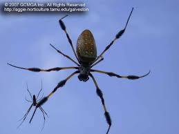 female banana spiders nephila clavipes are one of the largest orb weavers in this country rivaled in size only by female black and yellow garden spiders