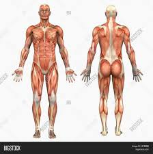 Bodybuilding Muscle Chart Chart For Bodybuilding Bodybuilding And Fitness For Android