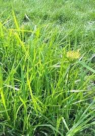 Nutsedge Herbicides Nutsedge Killer Lowes What Image Nutsedge Killer Lowes